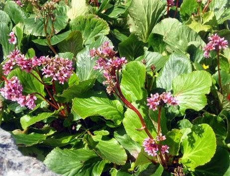 Bergenia florecida