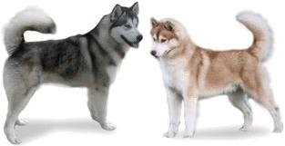 Kishu dog mix