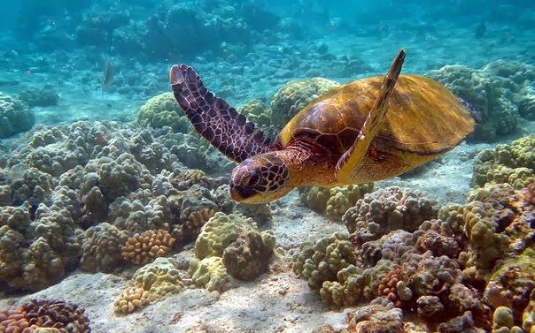 морская черепаха плавает среди кораллов