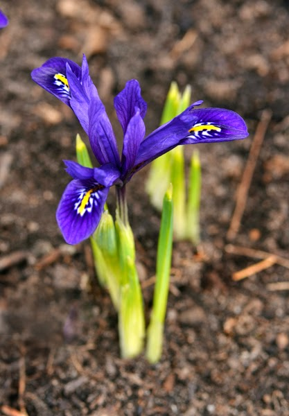 dwarf bulbous iris rock garden