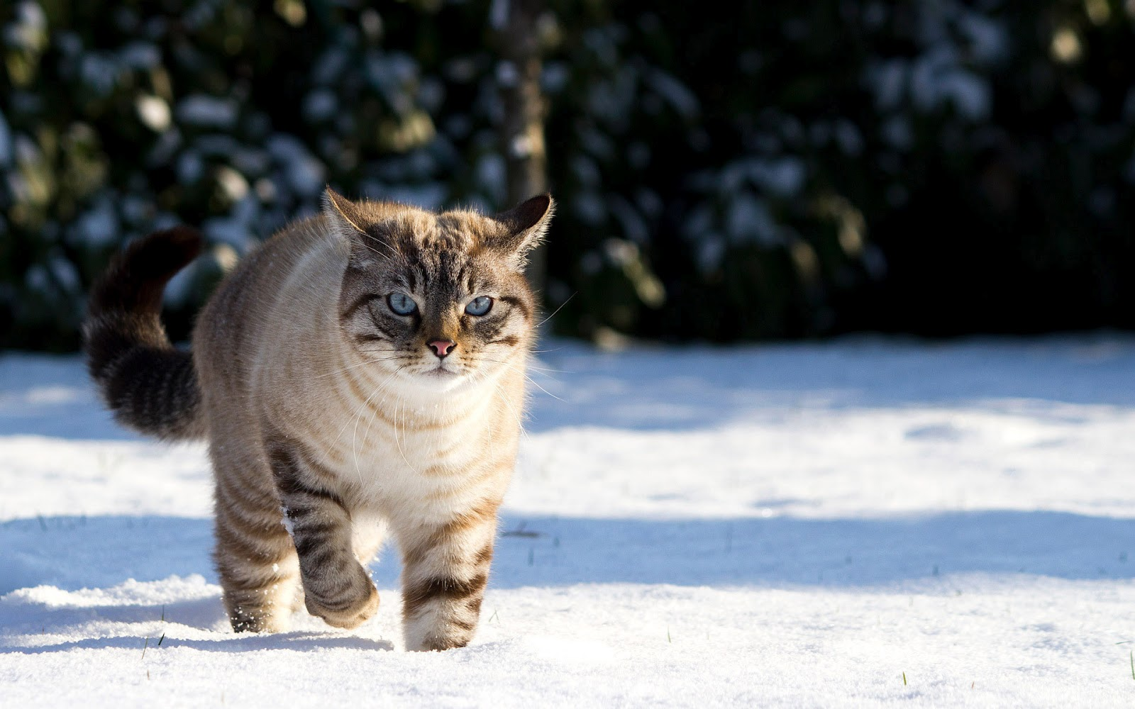 Cool   Wallpaper Horse Snow - winter-wallpaper-with-a-cute-cat-walking-in-the-snow-hd-cat-wallpaper  Trends_100117.jpg