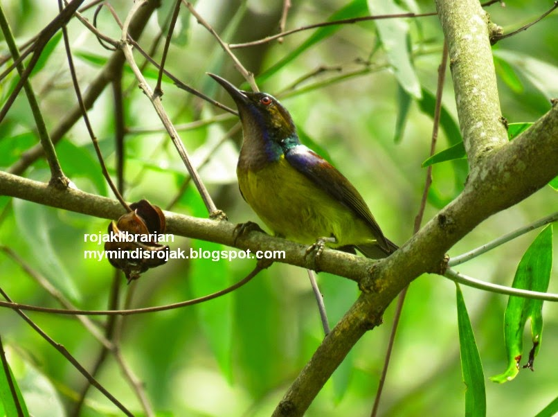 Brown-throated Sunbird in Tampines Eco Green
