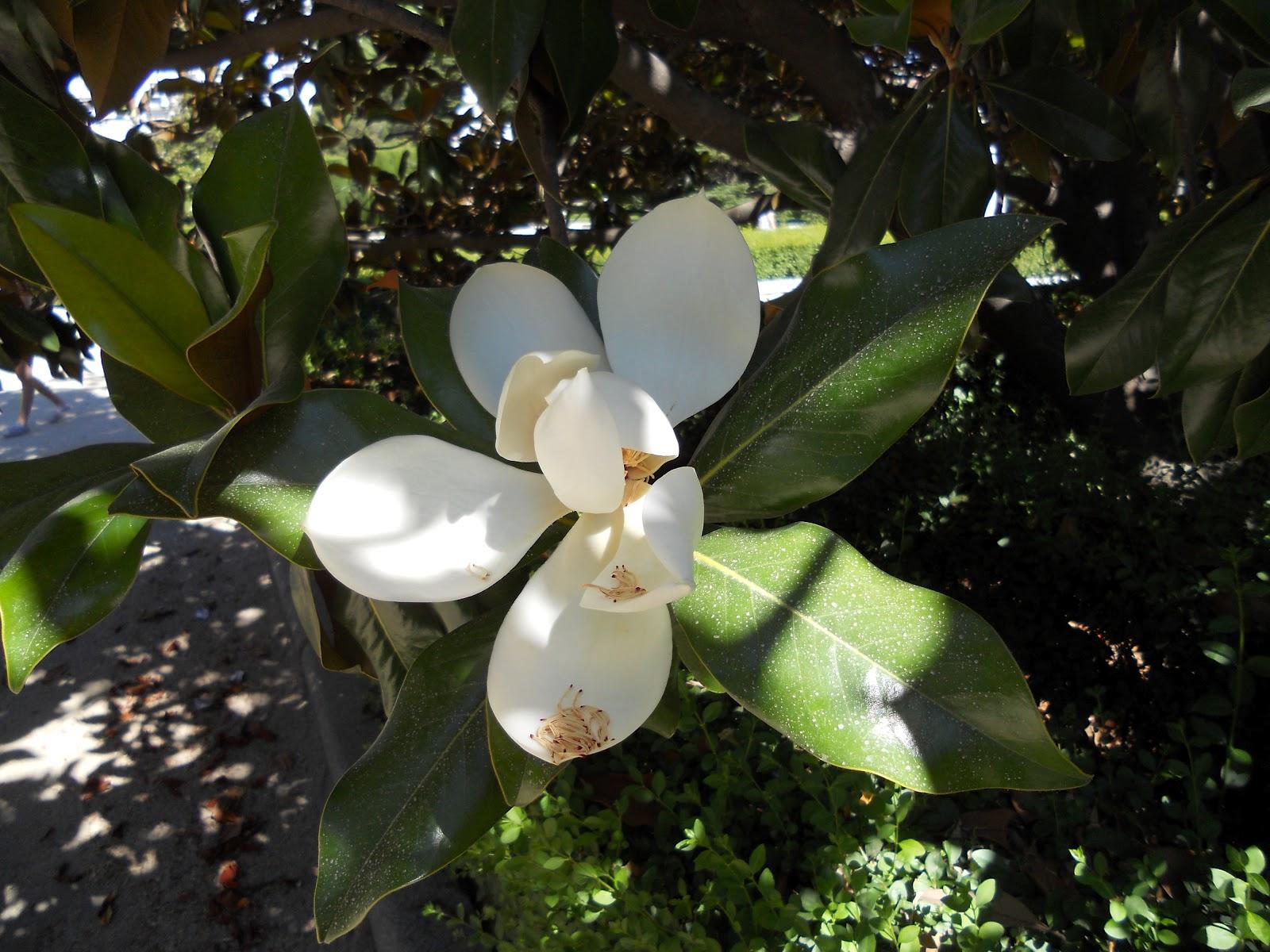 La luna de taca magnolias en los jardines del palacio for Los jardines de la luna