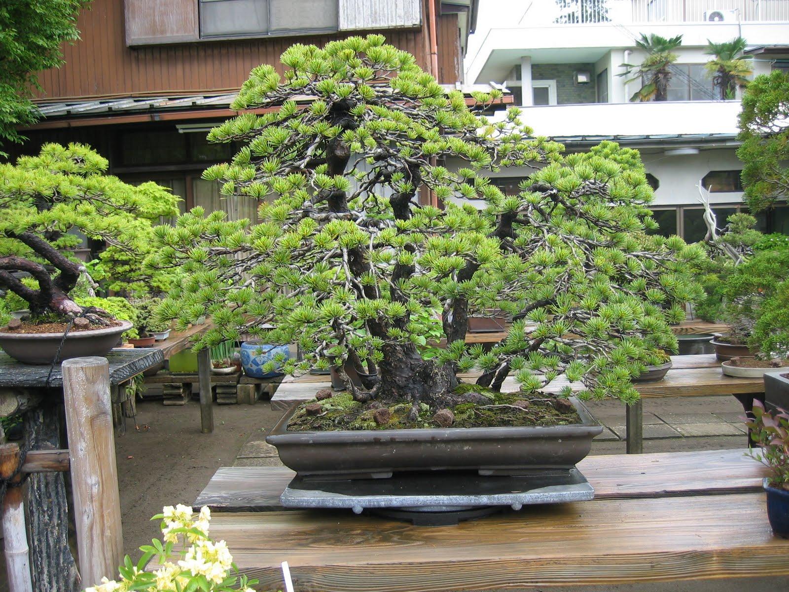 matsu bonsai jardin de ma tre hamano. Black Bedroom Furniture Sets. Home Design Ideas