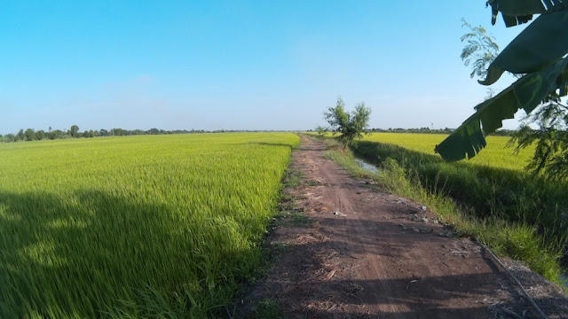 The way on the paddy field with Action Camera