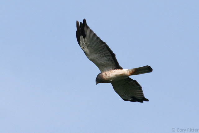 Adult Male Northern Harrier at Hawk Ridge