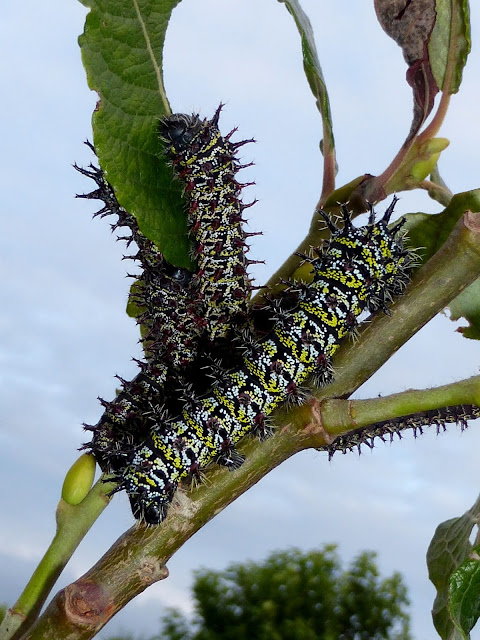 Gonimbrasia zambesina caterpillar