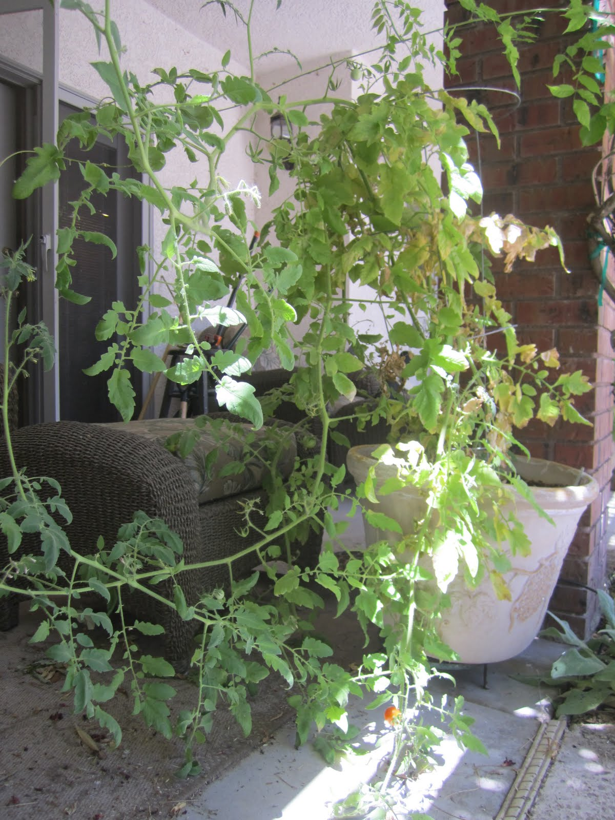 wendys hat how to grow tomatoes garden recipe. Black Bedroom Furniture Sets. Home Design Ideas