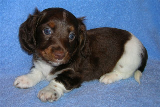 Same Longhair Chocolate/Tan Piebald Male