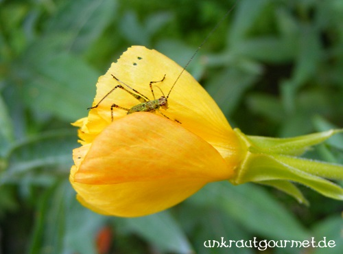 Grashüpfer auf Nachtkerzen-Blütenbesuch