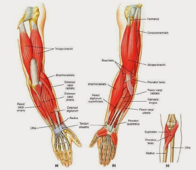 Otot-otot sinergis dan antagonis