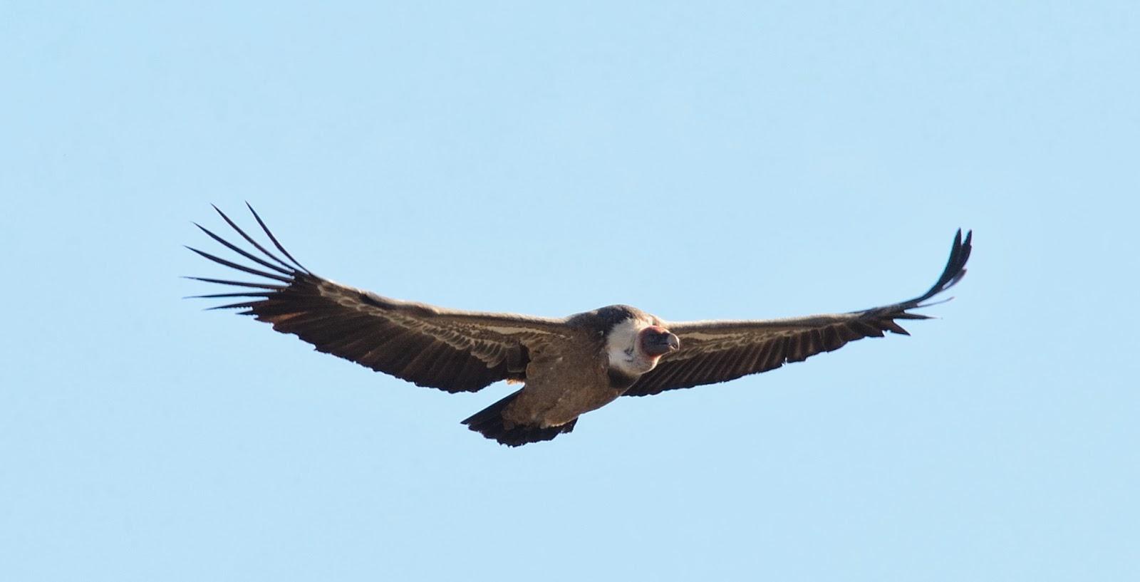 Excursión SEO/BirdLife a ZEPA del Alto Guadiato. Buitre Leonado