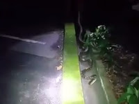 Ngeri, Pria Ini Temukan Piton Sepanjang 4 Meter di Got