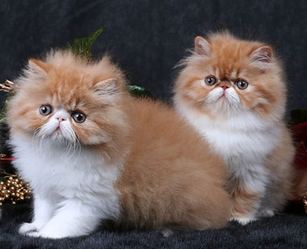 How do you take care of persian cats
