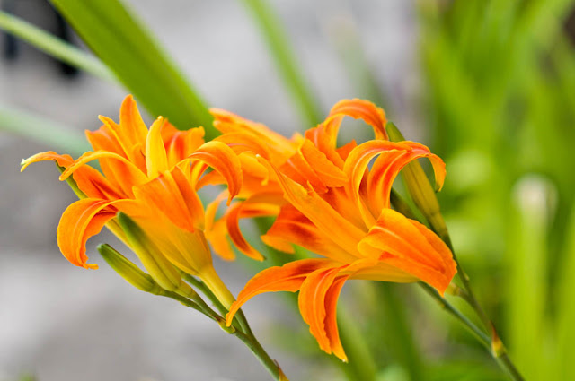 Orange lilies that bloomed today morning after the squall yesterday. Shot with the Nikon D300 and the Nikon 85mm f1.8 @ F2.8