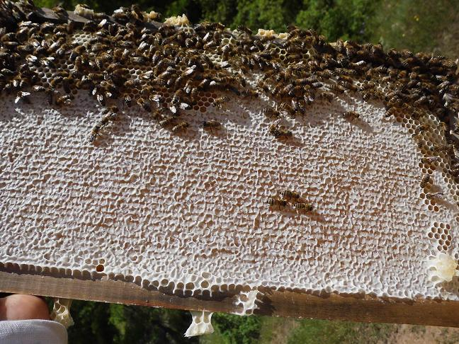 organik akasya bali