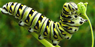 oruga de mariposa