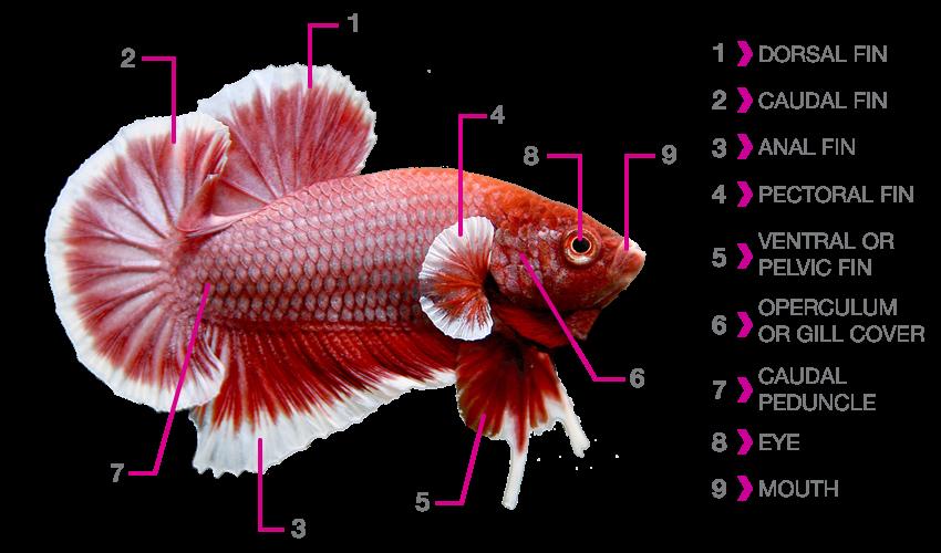 Betta anatomy nice betta for Good betta fish names
