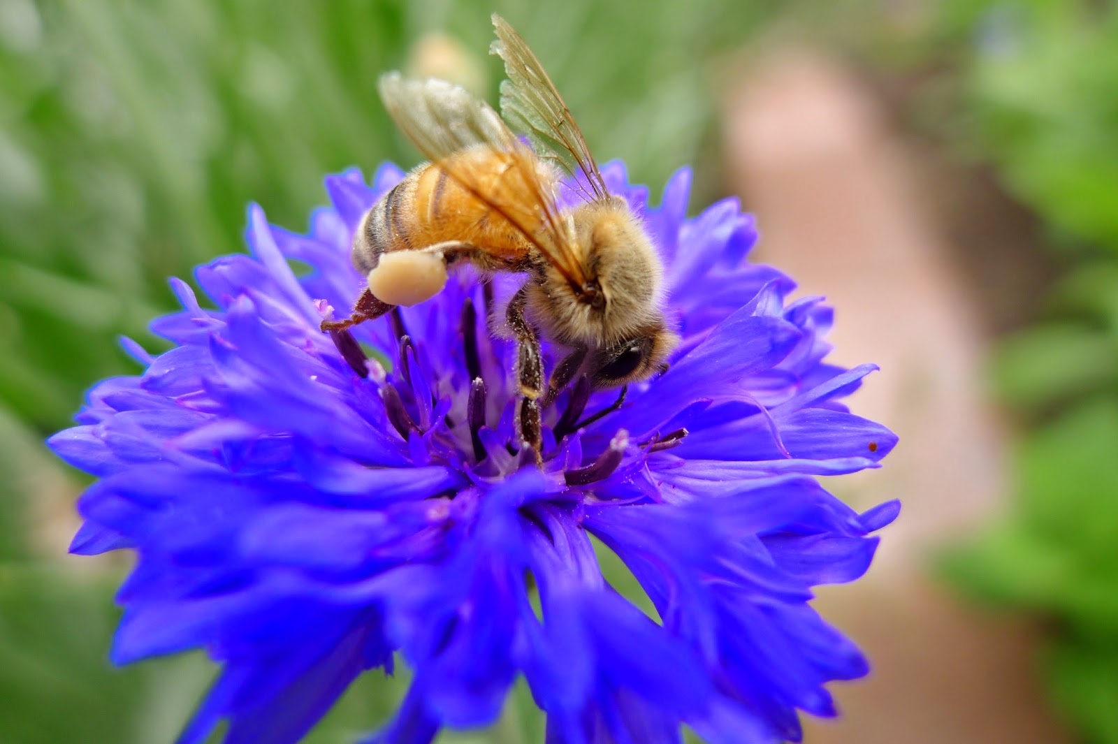 Honey Bee on Batchelor's Button, pollinators,urban farming
