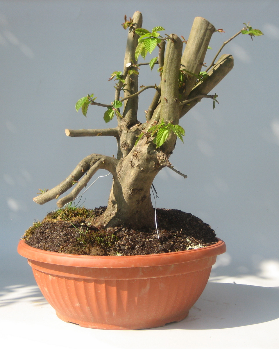 Maros Bonsai Blog October 2013