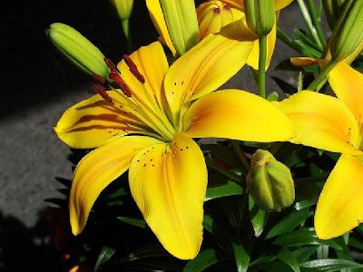 Hình ảnh đẹp của hoa Huệ tây