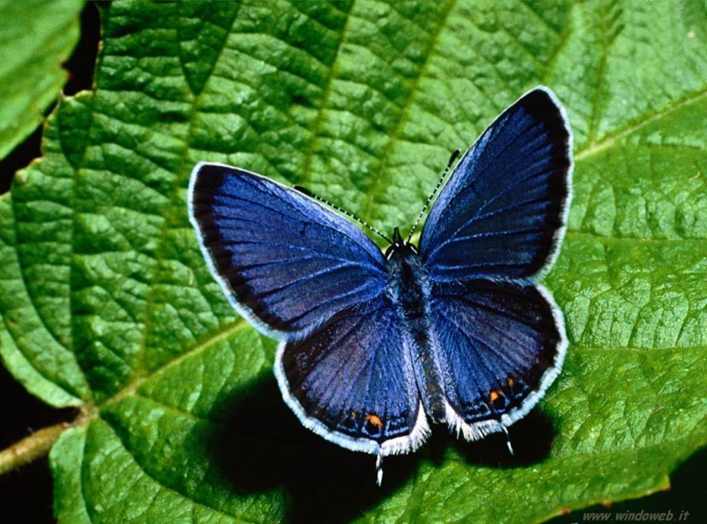 Macchiarancio le farfalle for Foto farfalle colorate