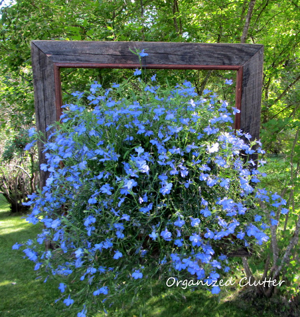 Framed Lobelia in August