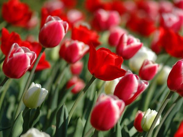 Bienvenidos al nuevo foro de apoyo a Noe #250 / 28.04.15 ~ 30.04.15 - Página 4 Tulipanes-paisajes+de+flores