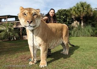 7 Harimau Terbesar Di Dunia