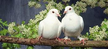 Sepasang Kekasih Dengan Simbol Merpati Hal Ini Dikarenakan Kesetiaan ...