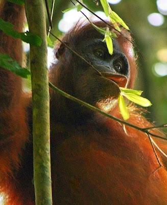 COP Desak Pemulangan Orangutan Dari Thailand