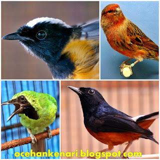 Penyebab Serak pada Burung Ocehan