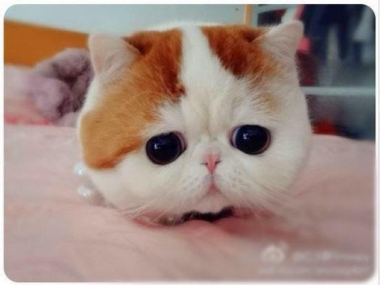 Gambar Foto Kucing Persia Peaknose Imut dan Lucu