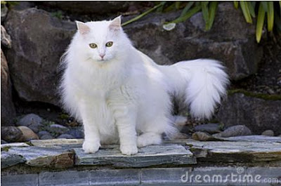 Foto Kucing Anggora 01