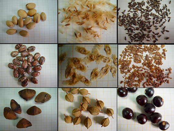 Conoblog semillas c mo se dispersan las semillas for Formas ornamentales
