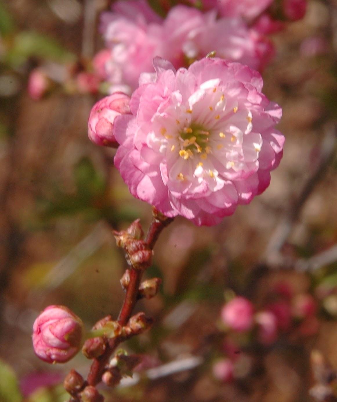 The Nature of Robertson Prunus glandulosa Sinensis Double flower