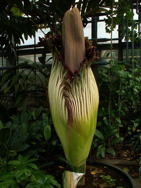 Amorphophallus-Titanium