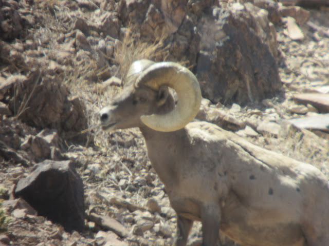 AZ+Desert+Bighorn+Sheep+Scouting+Pics+by+Colburn+and+Scott+Outfitters+2.JPG