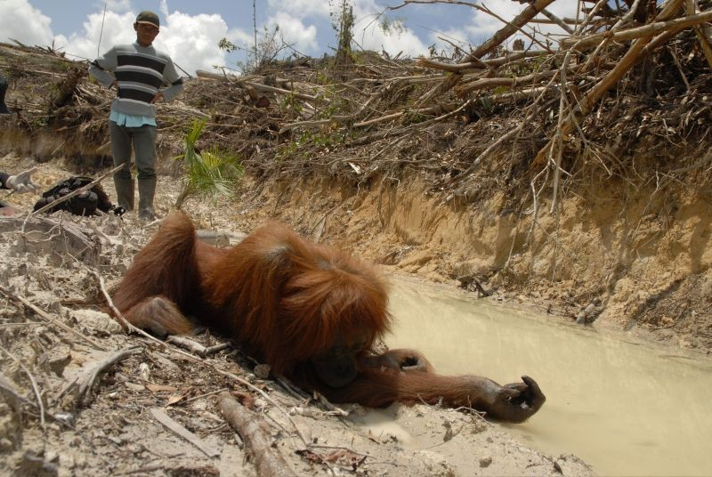 orangutans their ecological role in rainforests and the risk of extinction