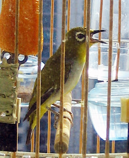 Rawatan Burung Pleci