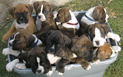 This is a cute picture of boxer puppies!!! I want a puppy!