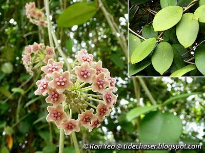 Wax Flower (Hoya diversifolia)
