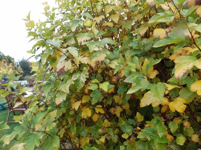 pęcherznica jesienią