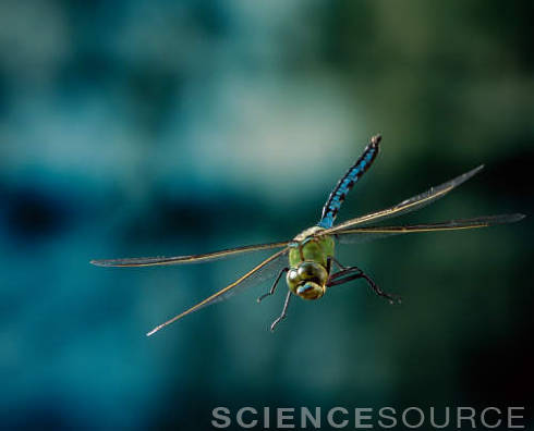 Dragonfly in flight © Stephen Dalton/ Science Source