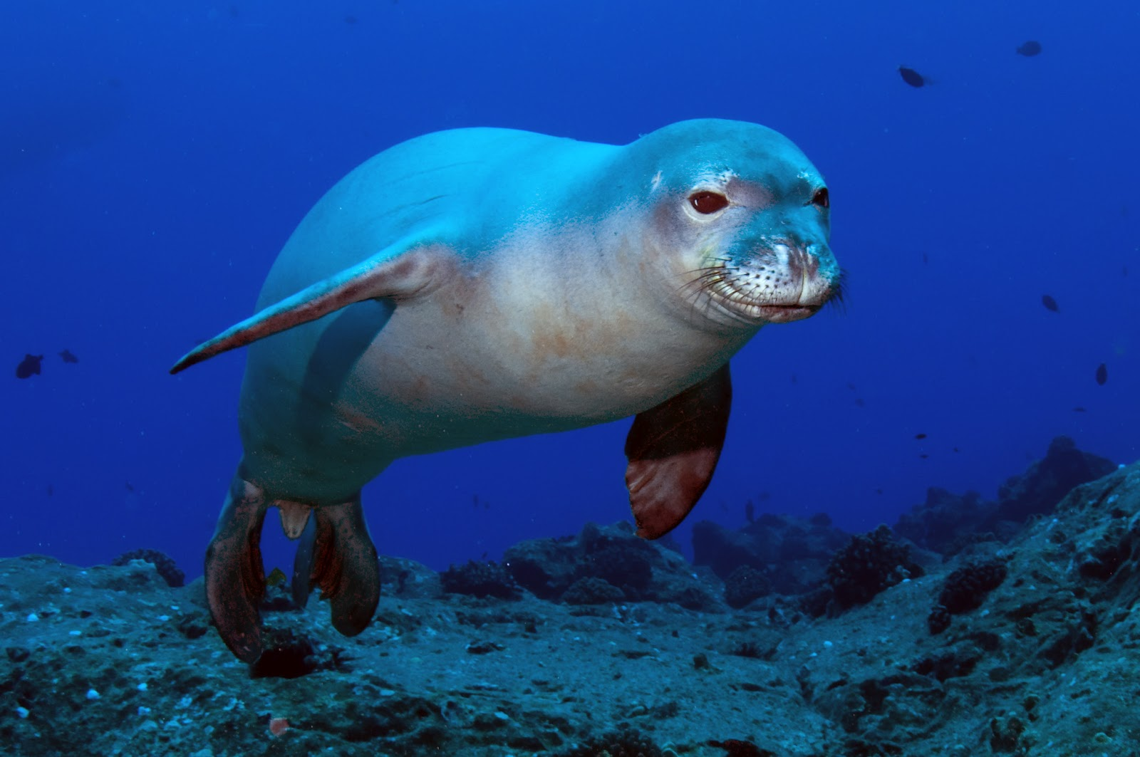 Let 39 s draw endangered species hawaiian monk seal for Endangered fish species