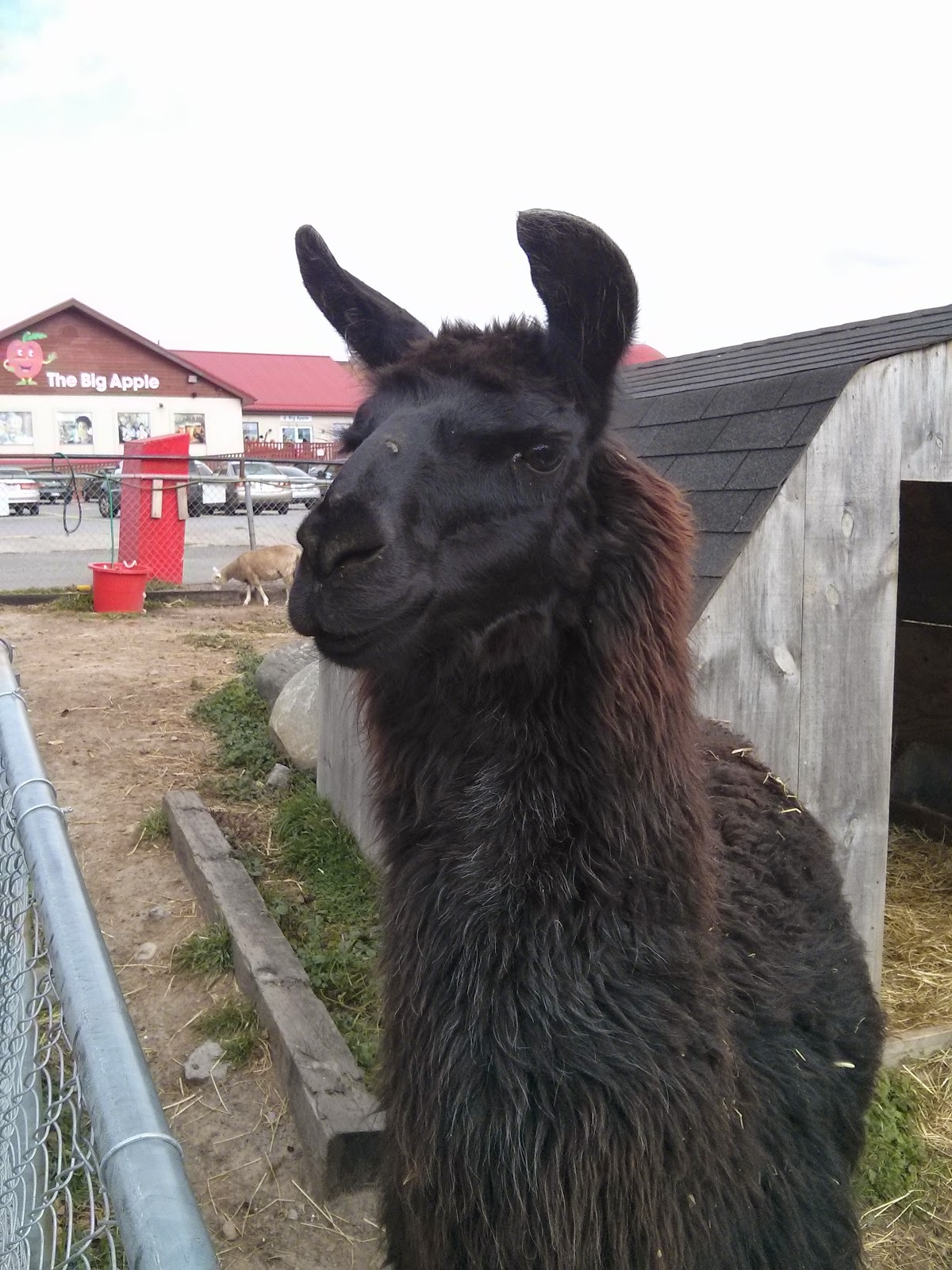 llama at Big Apple Colborne petting farm copyright 2014 OneQuarterMama.ca