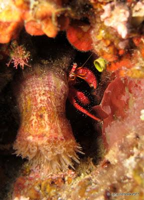 Sardinia crustacean crab