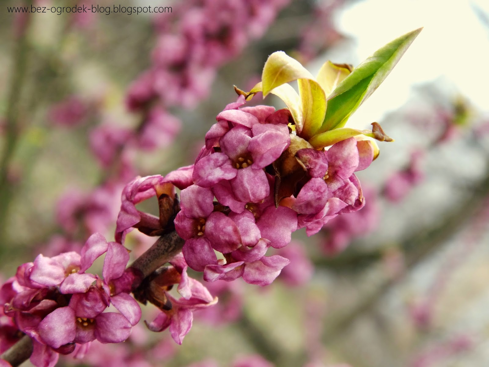 daphne flowers in the color of the year