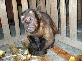 macaco-prego resgatado no Peru - foto da Neotropical Primate Conservation