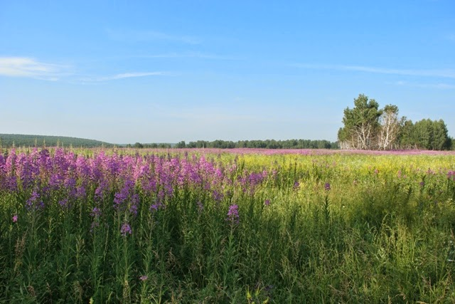 фотография пейзаж цветут луга иван чай